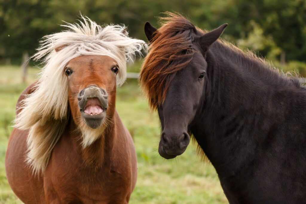 The Icelandic Horse making a funny face