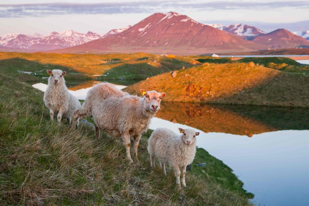 Icelandic sheep and lambs in the midnight sun in Iceland