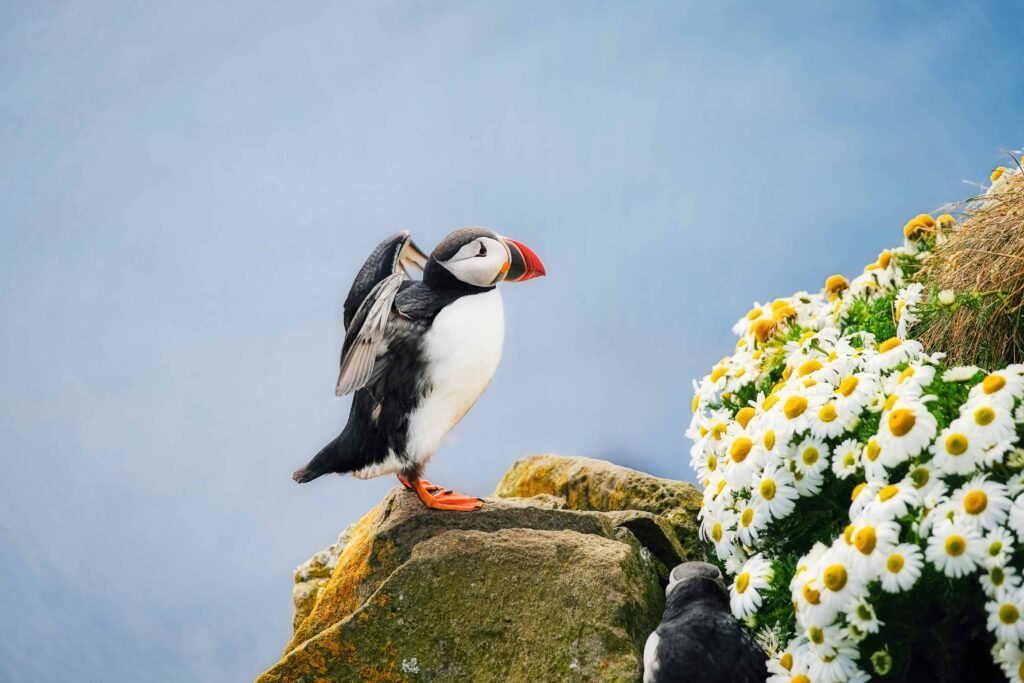 flowers and puffins in Iceland