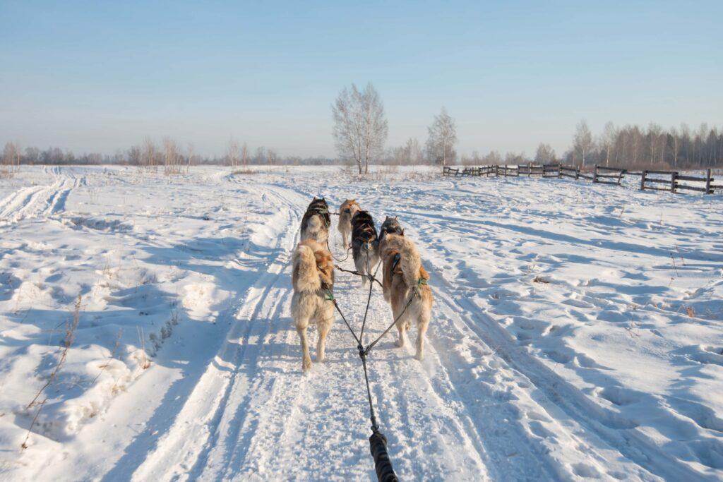Dog Sledding on snow in Iceland