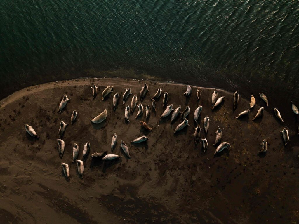 seals on a white beach in Iceland on Ytri Tunga seal colony in Snæfellsnes Peninsula