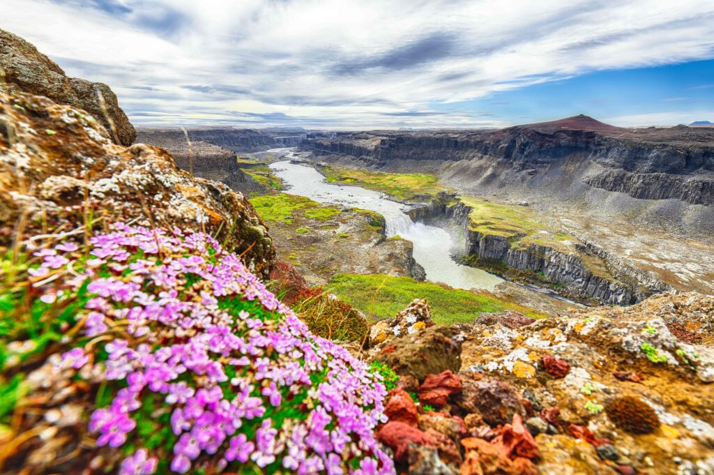 flowers and Hafragilsfoss waterfall in the diamond circle in north Iceland