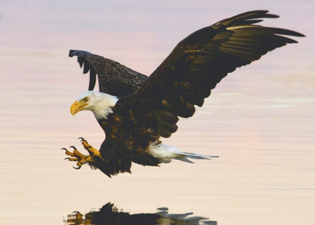 White tailed eagle in Iceland
