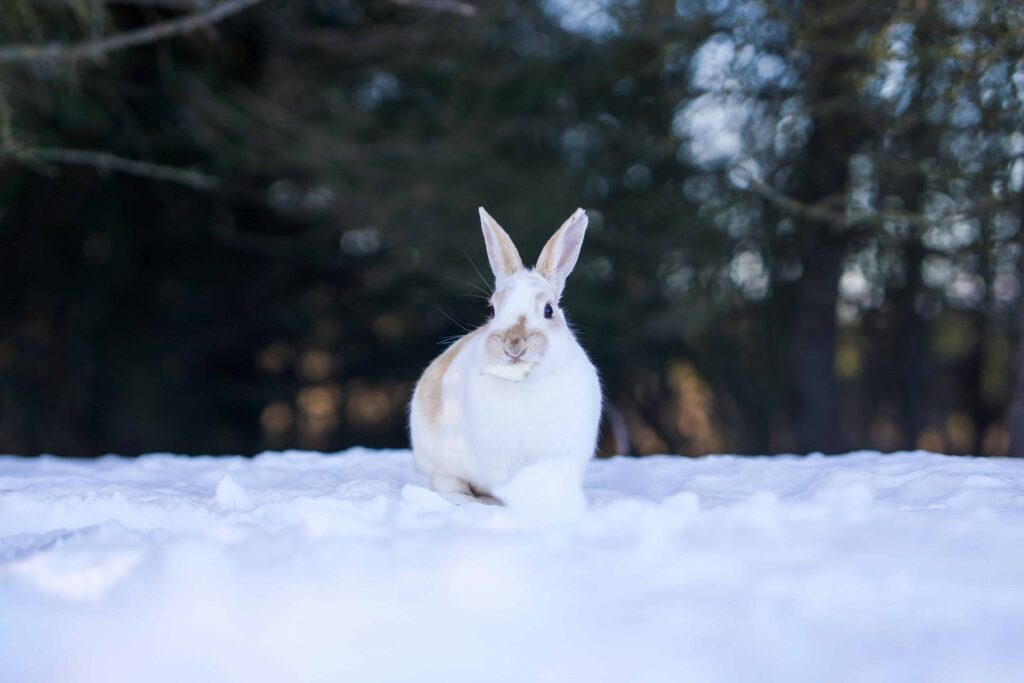 Easter Rabbit in Iceland