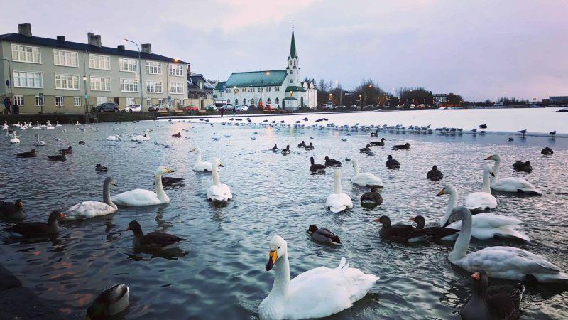 birds swimming on Tjornin pond in Reykjavik during winter