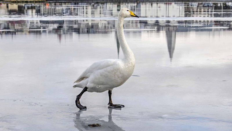 swan walking on the ice on Reykjavik pond Tjornin