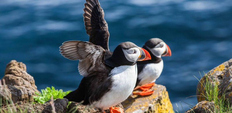 two puffins in Iceland