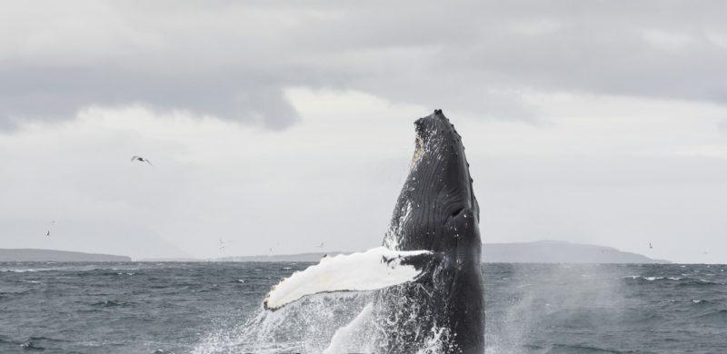 Akureyri Whale Watching
