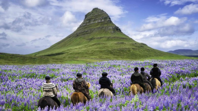 Horse Riding in Lupine Fields next to Kirkjufell mountain in Snæfellsnes Peninsula Kirkjufell Mountain