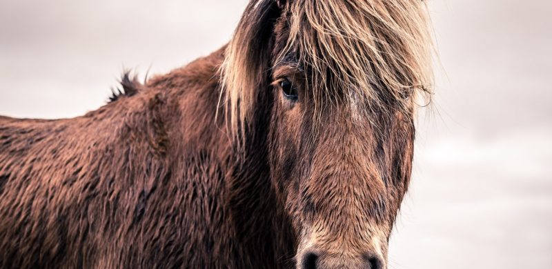 Icelandic horse during winter
