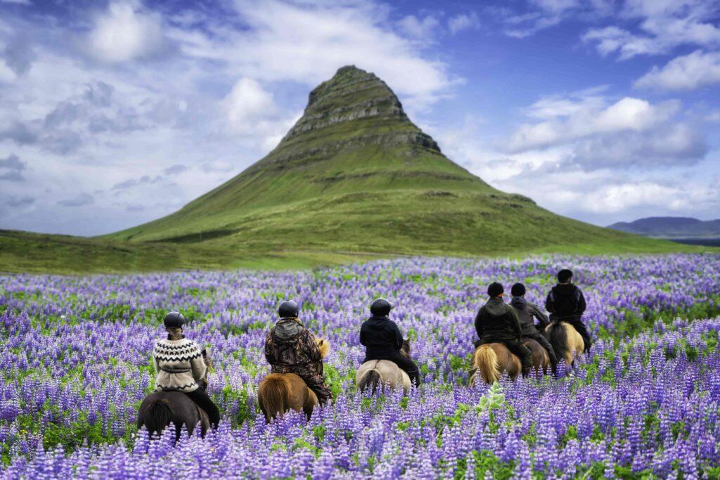 Horse Riding in Lupine Fields next to Kirkjufell mountain in Snæfellsnes Peninsula Kirkjufell Mountain