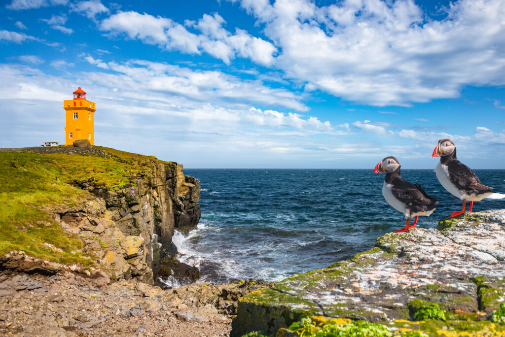 North Atlantic puffins sitting in front of orange lighthouse in Grímsey north Iceland, sunny day, closeup