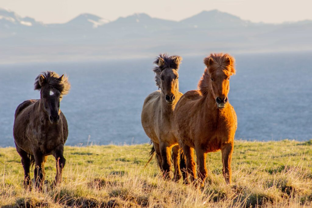 Icelandic horses running in Iceland