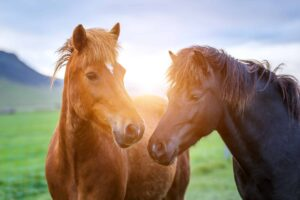 two Icelandinc horses during midnight sun sunset in Iceland