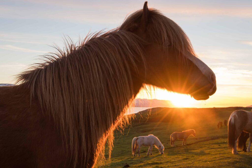 Icelandic horse during midnight sun sunset