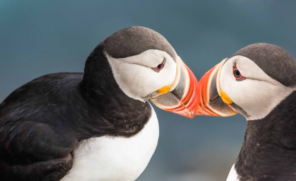 two puffins kissing in Iceland