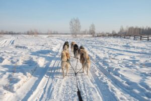 Dog Sledding on snow in Iceland