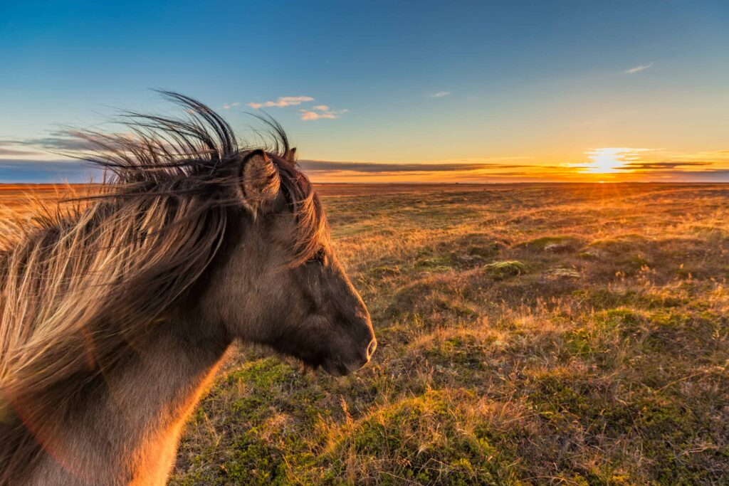 Icelandic horse watching the sunset during autumn in Iceland