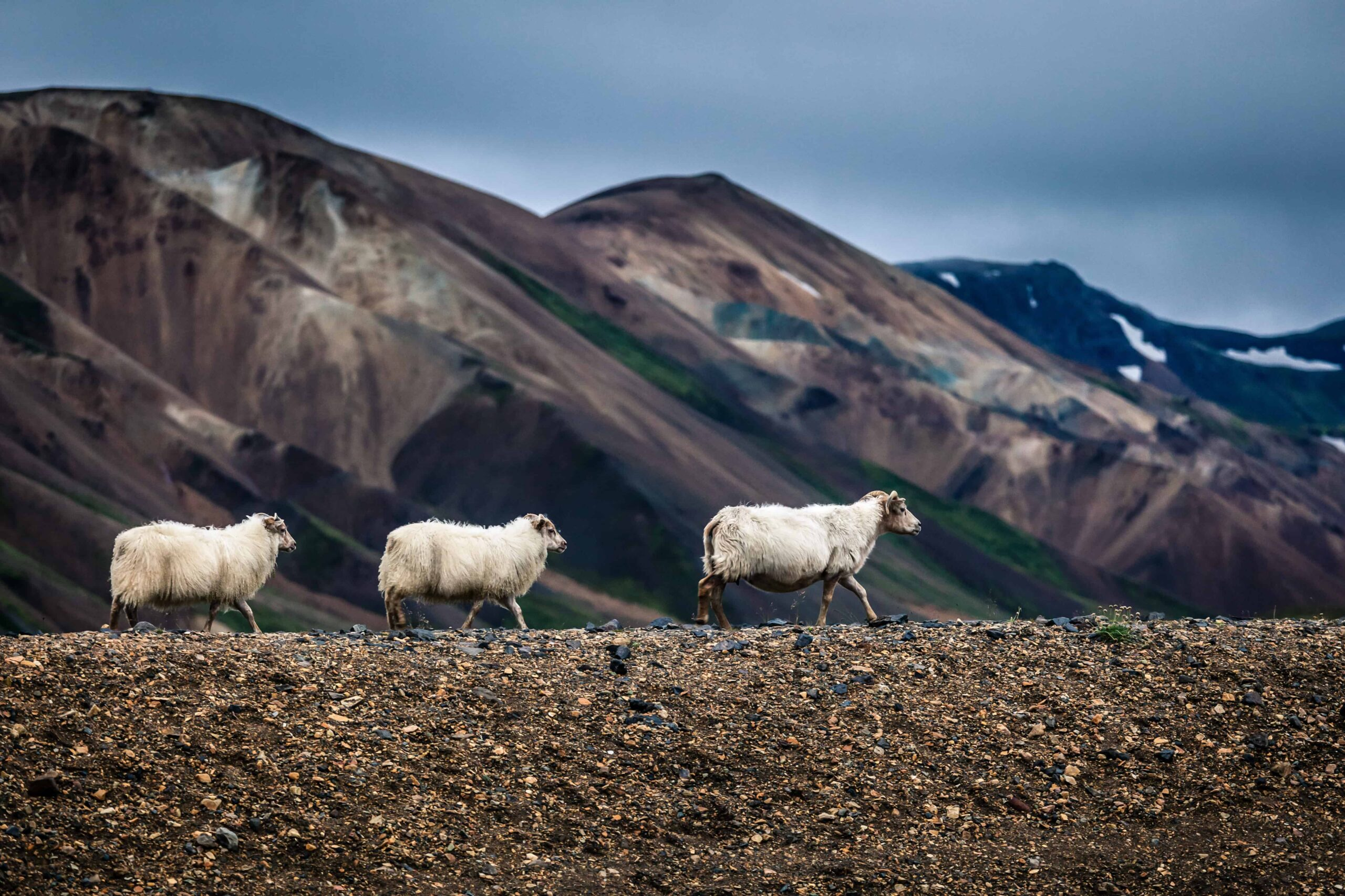 sheep in Landmannalaugar in the highlands of Iceland