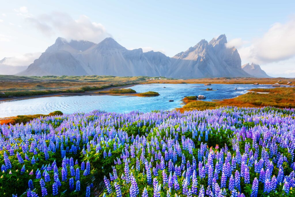 lupine fields in front of Stokksnes and Vestrahorn