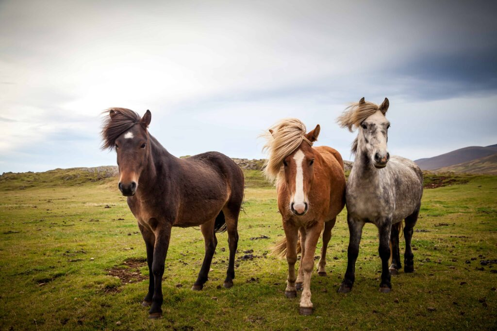 Icelandic horses in the wind in Iceland