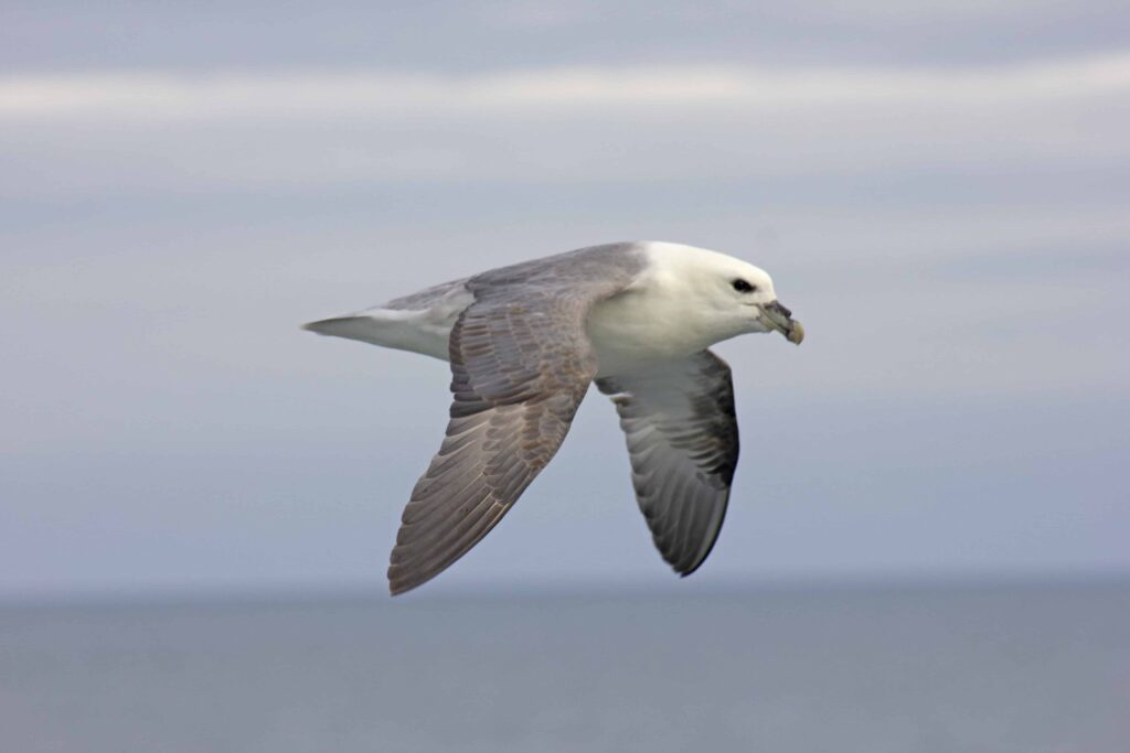 Northern Fulmar in Iceland