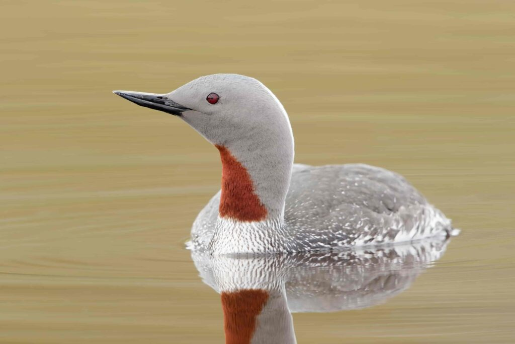 Red throated diver in Iceland
