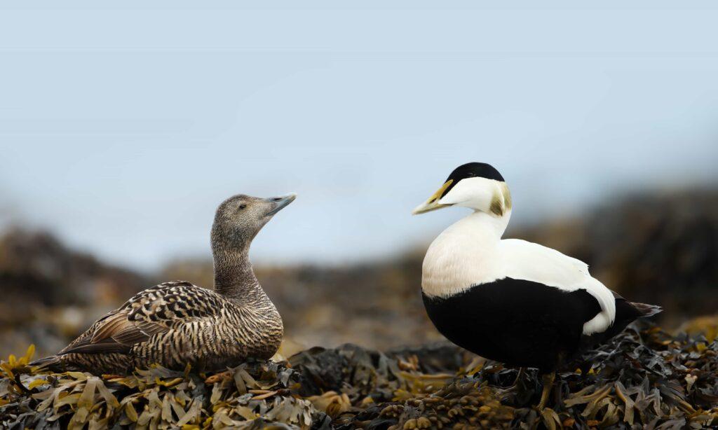 birds in Iceland