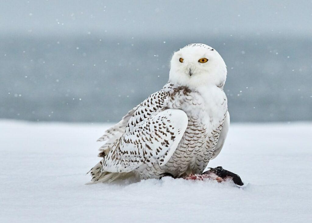 snowy owl in Iceland