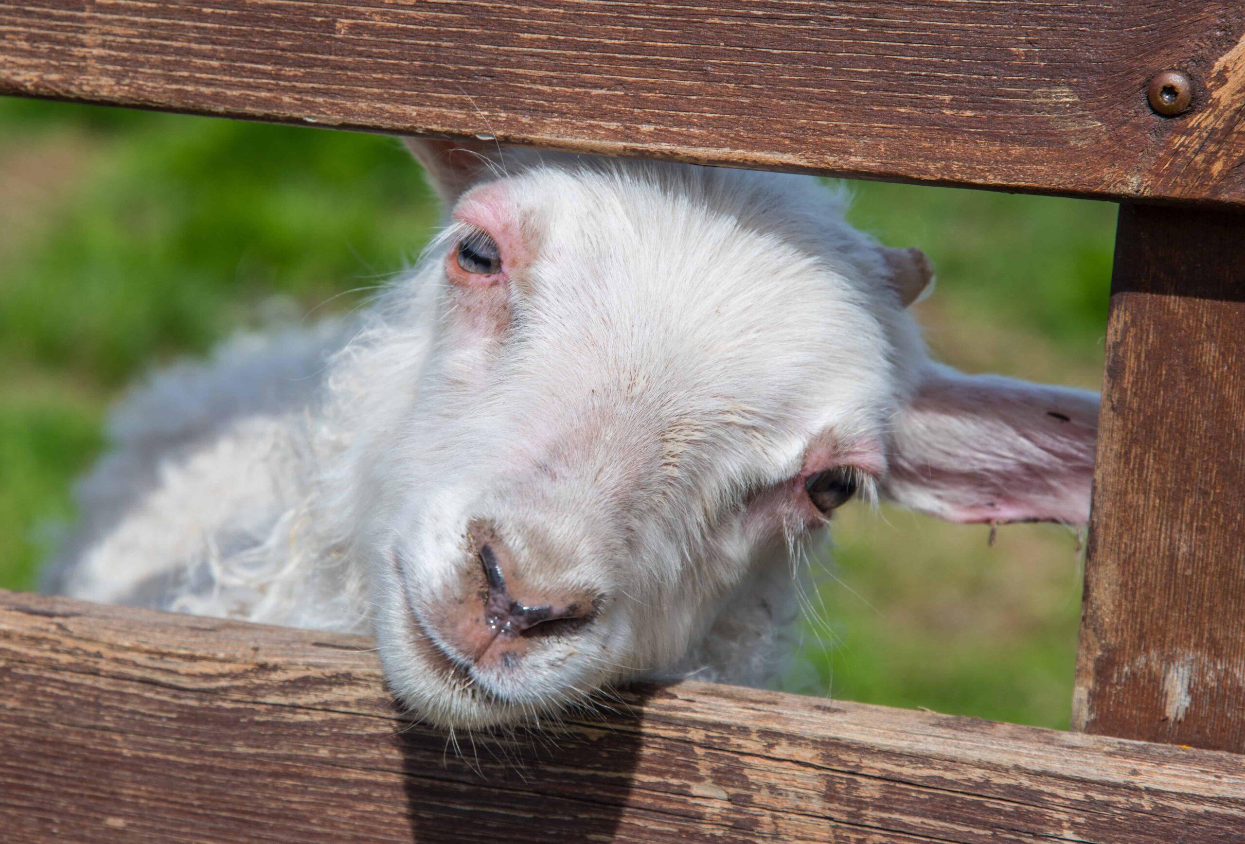 lamb in Vopnafjörður East Iceland