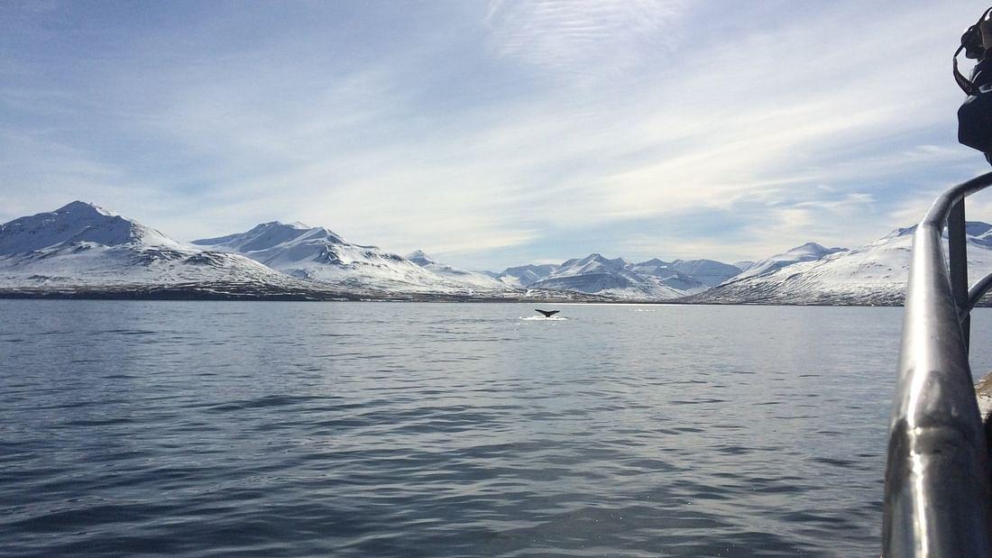 Dalvík whale watching