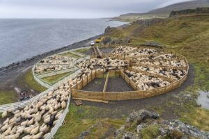 Icelandic Sheep - Réttir - Annual Sheep Gathering in Iceland