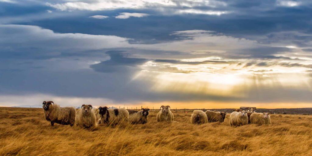 Icelandic Sheep - Réttir - Annual Sheep Gathering in Iceland