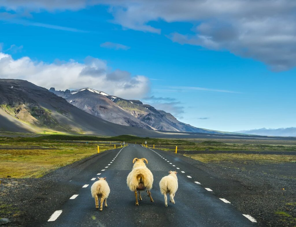 Icelandic Sheep on the road - Réttir - Annual Sheep Gathering in Iceland