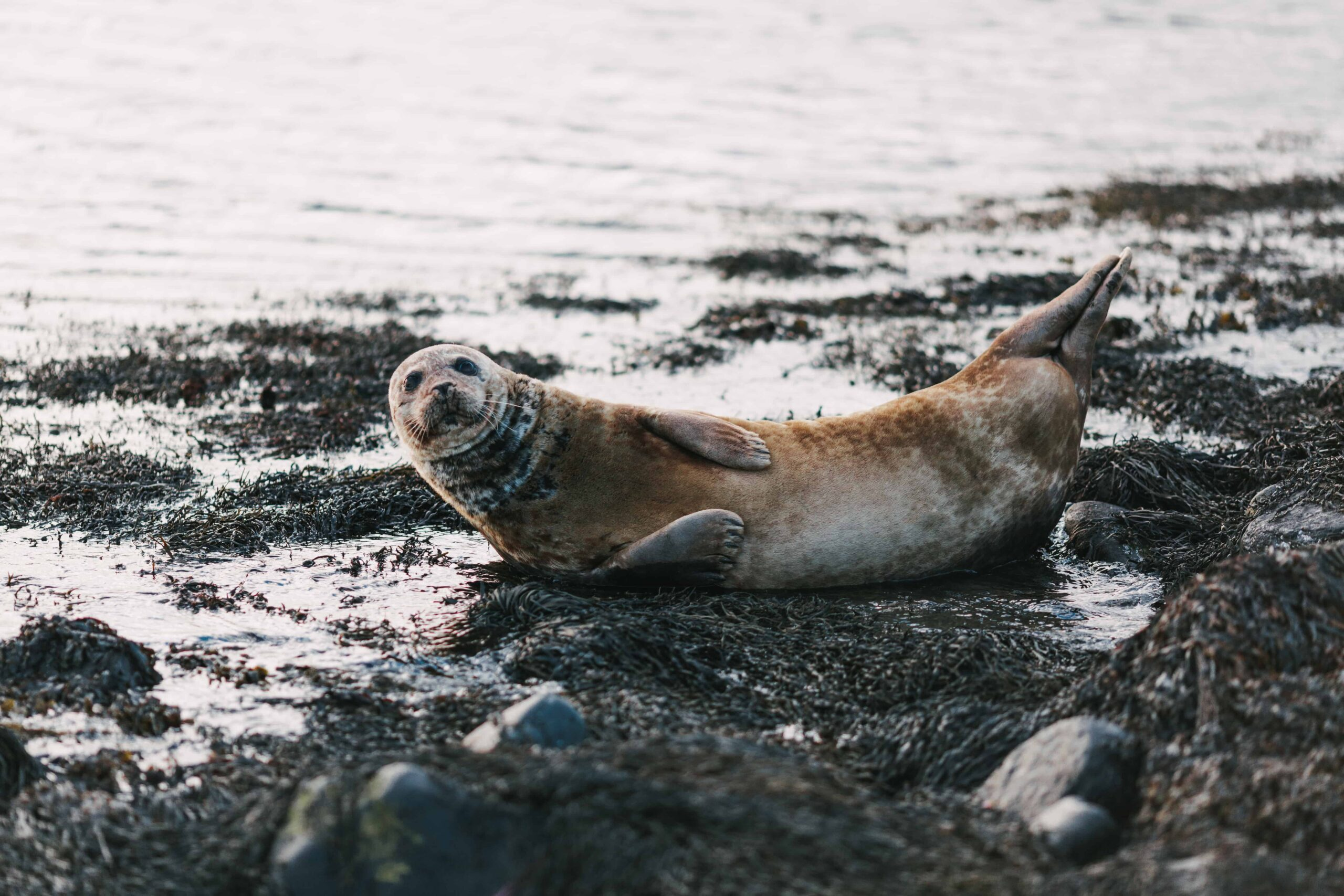 Ytri Tunga seal colony - Snæfellsnes Peninsula, seal watching in Iceland