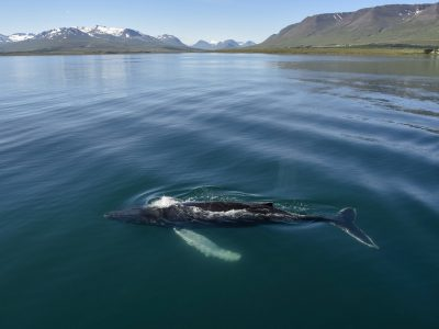 Akureyri Whale Watching
