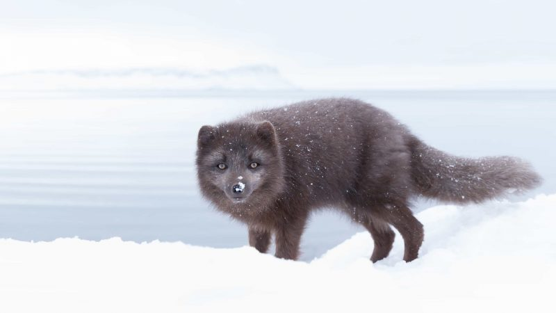 arctic fox in Iceland