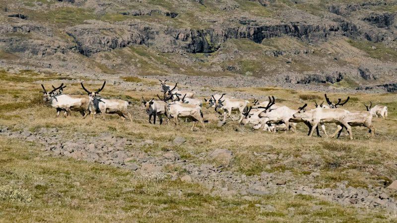 reindeers in Eskifjörður village in the Eastfjords of Iceland