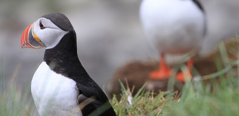 puffins on Flatey Island in north Iceland