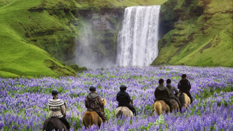 Horse Riding in Iceland next to Skógafoss waterfall and lupine fields