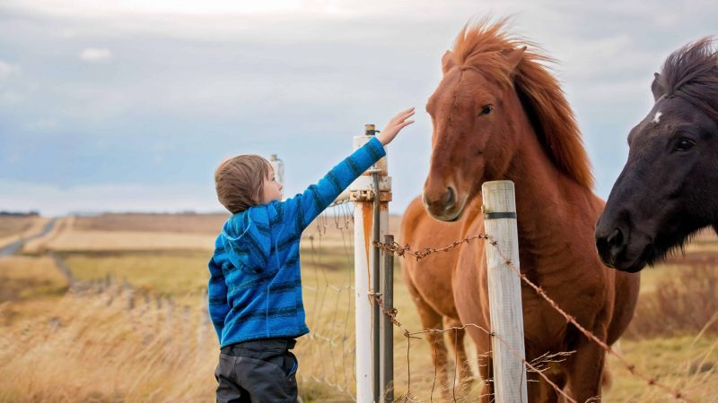 Iceland Family Travel, little kid with Icelandic horse in Iceland