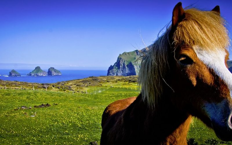the Iceland horse on a Private tour to Westman Islands