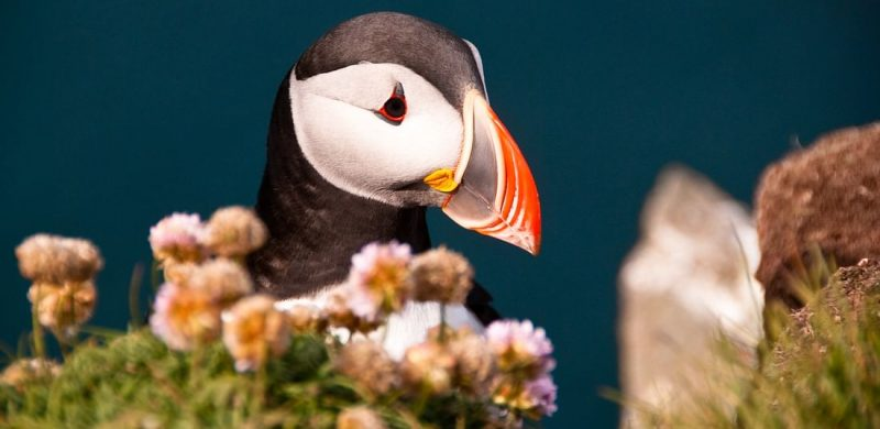 puffins on the Private tour to Westman Islands