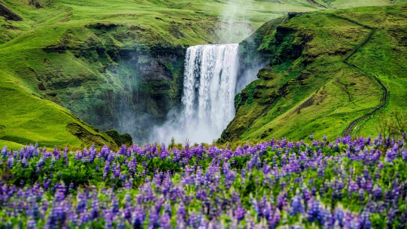 Skógafoss and lupine fields