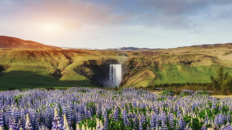 lupines at Skógafoss waterfall in south Iceland