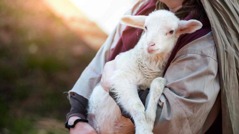 lamb in Slakki petting zoo