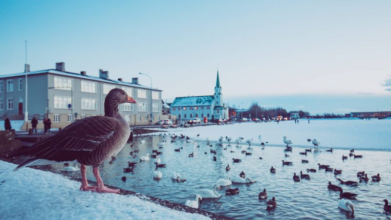 birds swimming on Tjornin pond in Reykjavik during winter