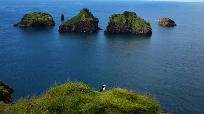 puffin in Vestmannaeyjar island in south Iceland, Westman Islands