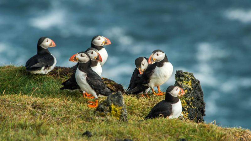 puffins in Vestmannaeyjar island in south Iceland, Westman Islands