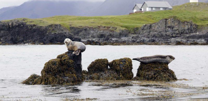Ytri Tunga seal colony in Snæfellsnes Peninsula